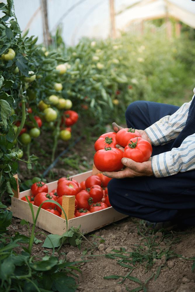 Duas mãos seguram tomates em frente à uma cesta de tomates, em uma estufa.