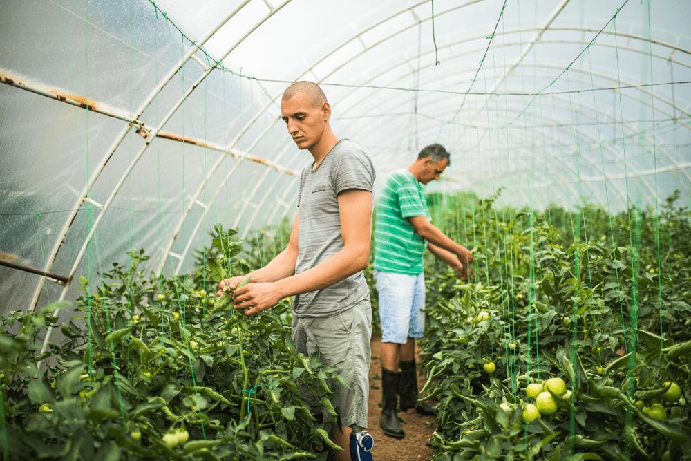 Dois homens analisam folhas de tomateiros em uma estufa.